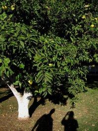 Pobielony pień drzewa owocowego